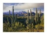 Saguaro cacti and Santa Catalina Mountains  Arizona