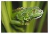 Green Iguana amid green leaves, Roatan Island, Honduras Reproduction d'art par Tim Fitzharris