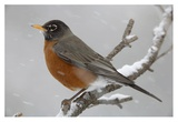 American Robin perching in snow storm  North America