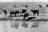 Buffalos Along the Banks of a River