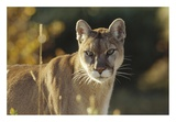 Mountain Lion or Cougar adult portrait  North America