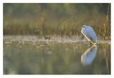 Great Egret backlit in marsh at sunset  North America