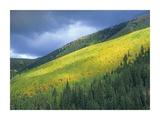 Aspen forest  Maroon Bells  Snowmass Wilderness  Colorado