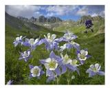 Colorado Blue Columbine meadow at American Basin  Colorado
