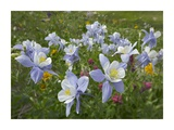 Colorado Blue Columbine flowers  American Basin  Colorado