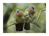 Pink-necked Green-Pigeon pair  Jurong Bird Park  Singapore
