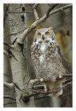 Great Horned Owl pale form  perched in tree  Alberta  Canada
