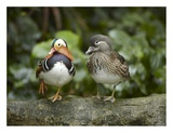 Mandarin Duck male and female  Jurong Bird Park  Singapore