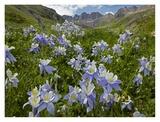 Colorado Blue Columbine flowers in American Basin  Colorado