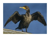 Double-crested Cormorant drying its wings  North America
