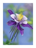 Colorado Blue Columbine close up of bloom  North America