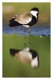 Spur-winged Plover with its reflection at waterhole  Kenya