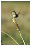 Marsh Wren singing while perching on a Common Cattail  Alberta  Canada