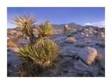 Mojave Yucca in rocky landscape  Mojave National Preserve  California