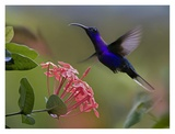 Violet Sabre-wing male hummingbird feeding at flower  Costa Rica