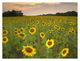 Field of sunflowers  Flint Hills National Wildlife Refuge  Kansas