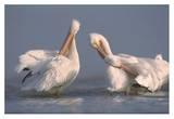 American White Pelican pair preening in shallow water  Texas Coast  Texas