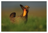 Greater Prairie Chicken male in courtship display  Eagle Lake  Texas