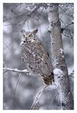 Great Horned Owl perched in tree dusted with snow  British Columbia  Canada