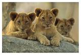 African Lion three cubs resting on a rock, Hwange National Park, Zimbabwe Reproduction d'art par Tim Fitzharris