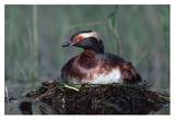 Horned Grebe parent incubating eggs on floating nest  North America