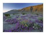 Sand Verbena and Desert Sunflowers Anza-Borrego Desert State Park  California