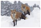 Red Fox pair in snow fall showing the black and red markings of their cross phase  Montana