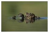 Pied-billed Grebe parent with two chicks on its back and one learning to swim  New Mexico