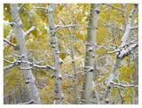 Snow-covered Aspen forest near Kebbler Pass  Gunnison National Forest  Colorado