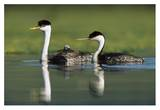 Western Grebe couple with one parent carrying chick on its back  New Mexico