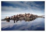 Steller's Sea Lion group hauled out on coastal rocks, Brothers Island, Alaska Reproduction d'art par Tim Fitzharris