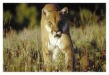Mountain Lion or Cougar walking through tall grass towards camera  North America