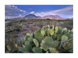 Opuntia cactus  Chisos Mountains  Big Bend National Park  Chihuahuan Desert  Texas