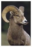 Bighorn Sheep male portrait  Banff National Park  Alberta  Canada