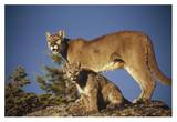 Mountain Lion or Cougar mother with kitten  North America  captive animal