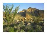 Ocotillo Borrego Palm Canyon  Anza-Borrego Desert State Park  California
