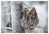 Western Screech Owl perching in a tree with snow on its head  British Columbia  Canada