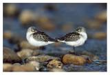 Western Sandpipers pair standing back to back with beaks tucked under wings  North America