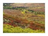 Autumn tundra with boreal forest  Tombstone Territorial Park  Yukon Territory  Canada