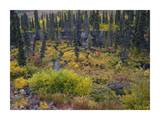 Beaver pond amid boreal forest  Tombstone Territorial Park  Yukon Territory  Canada