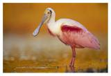 Roseate Spoonbill adult in breeding plumage standing in golden-colored water  North America