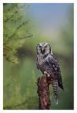 Northern Hawk Owl perching in a tree  circumpolar species  British Columbia  Canada