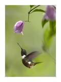 Purple-throated Woodstar hummingbird hovering near Bougainveillea flower  Ecuador