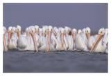 American White Pelican group  North America