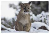 Mountain Lion juvenile in snow  North America