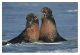 Northern Elephant Seal males fighting  California