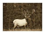 Elk or Wapiti male portrait  North America - Sepia