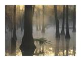 Bald Cypress grove in freshwater swamp at dawn  Lake Fausse Pointe  Louisiana