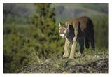 Mountain Lion walking across open ground  North America