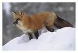 Red Fox standing at the top of a snow bank  Montana